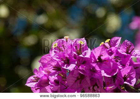 Branch Of Bougainvillea Flowers