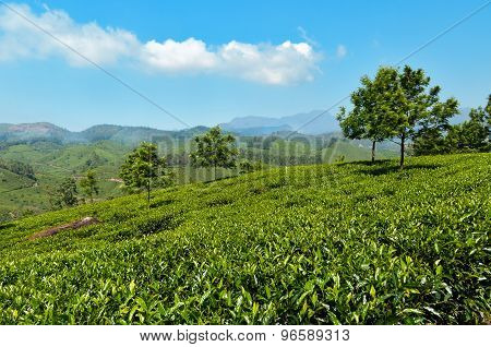 View Of Tea Plantation Valley In Munnar