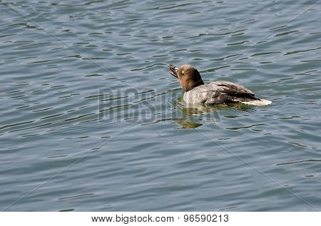 Female Common Goldeneye Calling From The Water