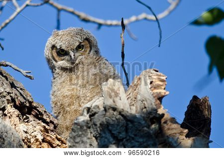 Young Owlet Making Direct Eye Contact From Its Nest