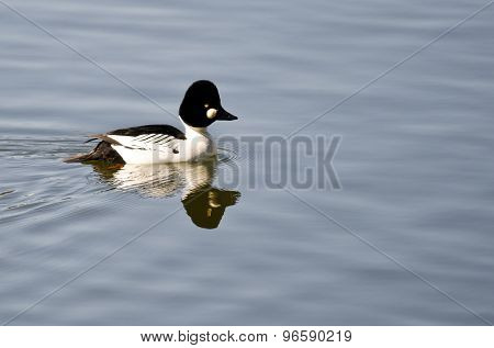 Male Common Goldeneye Swimming In The Lake