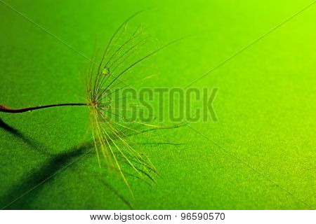 Beautiful dandelion with water drops on green background