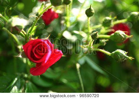 Beautiful rose on green bush in garden