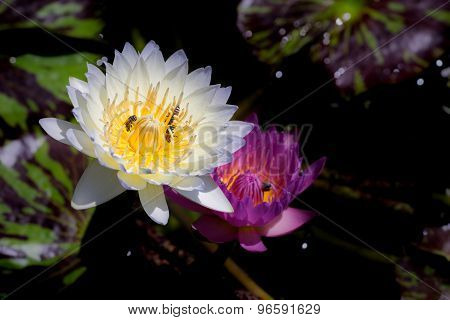 White and purple waterlilies