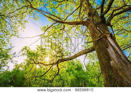 Spring Sun Shining Through Canopy Of Tall Oak Trees. Upper Branc