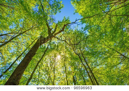 Spring Sun Shining Through Canopy Of Tall Trees. Upper Branches