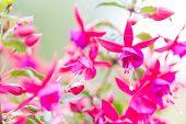 stock photo of salvia  - Flowers of fuchsia or Onagraceae Salvia Splendens Scarlet Sage - JPG