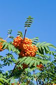 image of rowan berry  - Rowan berries on a mountain ash or rowan tree in summer with green leaves - JPG