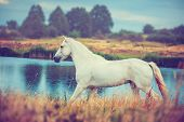 picture of wild horse running  - white horse is running along the lake shore - JPG