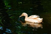 pic of duck  - Domestic duck probably an Orpington or Buff Orpington duck - JPG