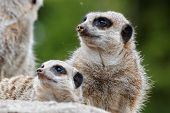 pic of stare  - Meerkats family staring in the same direction - JPG