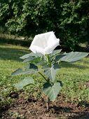 foto of datura  - White Brugmansia  - JPG