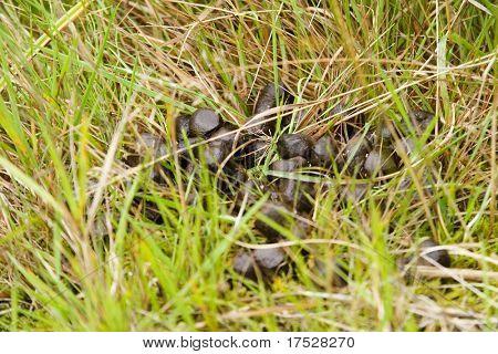 Deer poop in grass