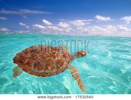 Green sea Turtle Chelonia mydas  Caribbean sea Cheloniidae water surface