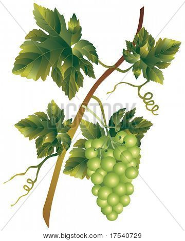Vector image of a bunch of muscadine