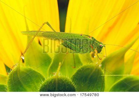 locust on the sunflower