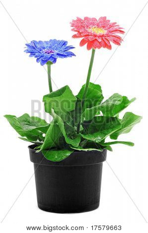 some gerbera daisies on plantpot on a white background