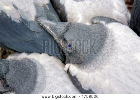 Crows Fledgling 3