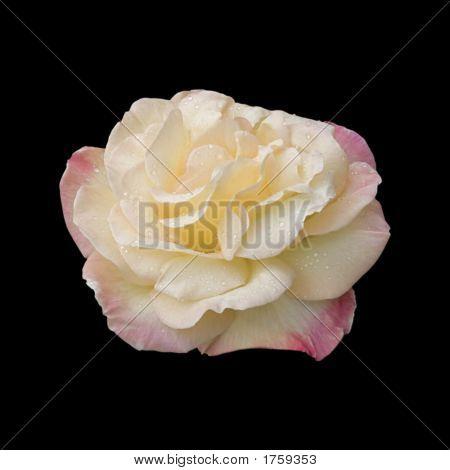 Hybrid Tea Rose (Variety