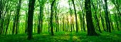 Sunlight in the green forest  spring time. Forest with sunlight shining through trees. poster