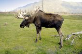 stock photo of stratus  - A bull moose wanders the range in Alaska - JPG