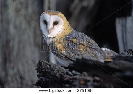 Bird-Barn Owl