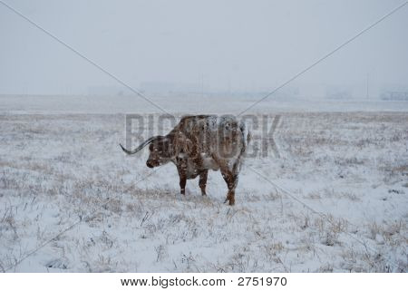 Texas Longhorn In Snowstorm