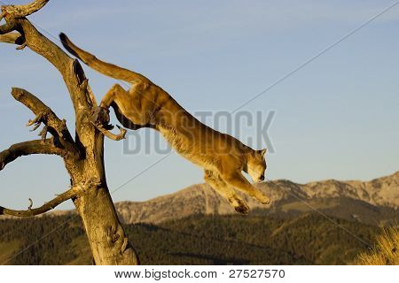 Mountain Lion jumps from a tree in Montana