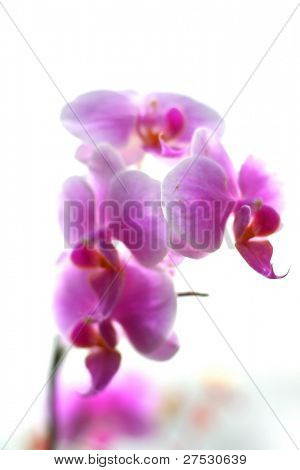 A pink orchid flower against white background