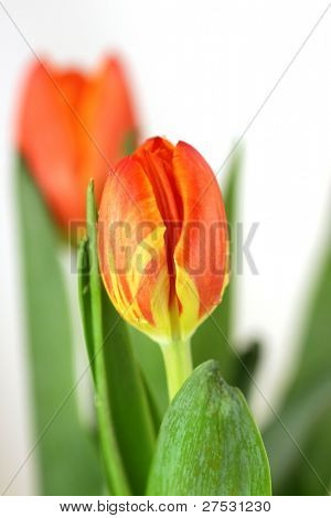 Two beautiful tulips isolated over white, shallow dof