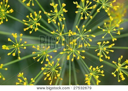 Close up shot of Lady's mantle flower background