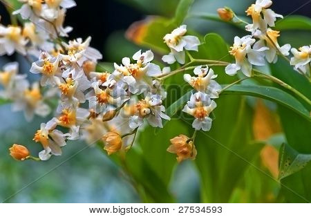 Vanilla Orchid Flowers Macro