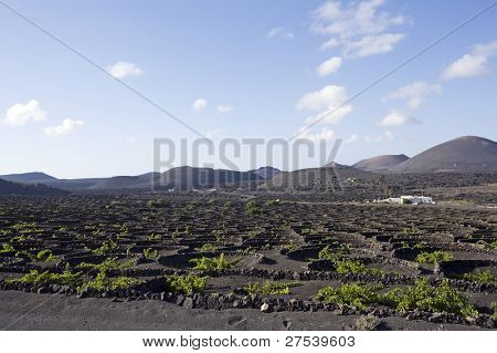 vineyards with typical round lava rock walls near La Geria, Lanzarote