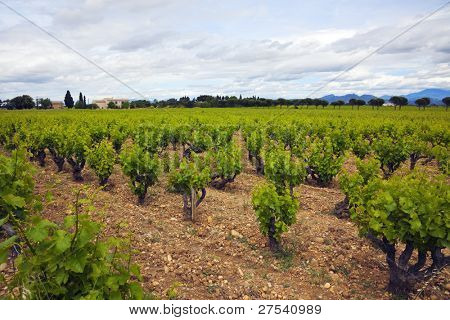 vineyards at Chateauneuf du Pape, Provence, France