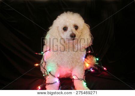 poster of Christmas Dog. Christmas Dog. Bichon - Poodle dog. Bichapoo Dog with Christmas lights. Isolated on b