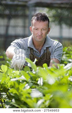 Gardener in a green house