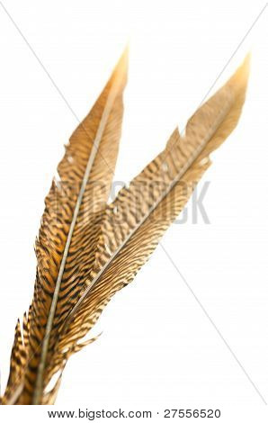 Golden Pheasant Tail Feathers Over White