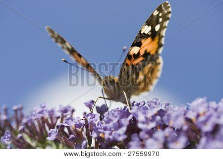 Painted Lady Butterfly (Vanessa cardui) On Buddleia Davidii