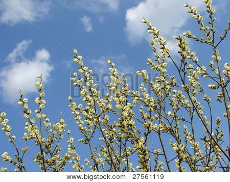 spring pussy willow branches in blossom against blue sky