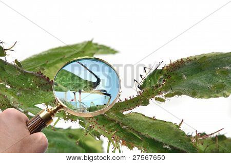 Magnifying Glass Looking At Aphids.