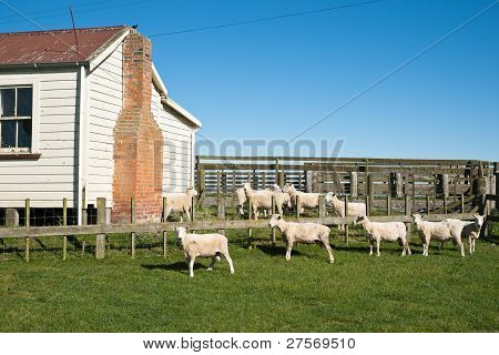 Sheep in yard.