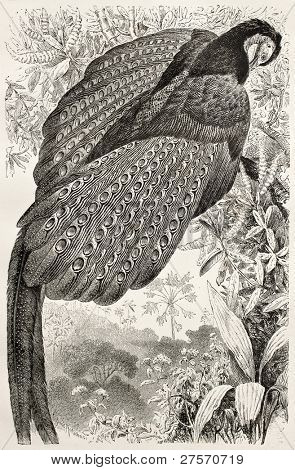 Great Argus Pheasant old illustration (Argusianus argus). Created by Kretschmer and Illner, published on Merveilles de la Nature, Bailliere et fils, Paris, ca. 1878