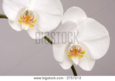 Macro Orchid Flower Blossoms