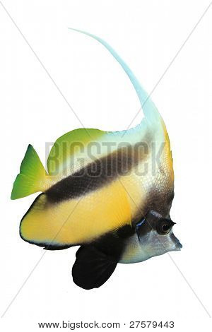 Tropical Fish isolated on white: Red Sea Bannerfish