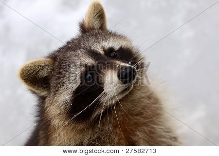 Portrait Of A Raccoon In A German Zoo