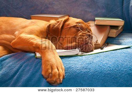A Tired Dog de Bordeaux asleep over the books