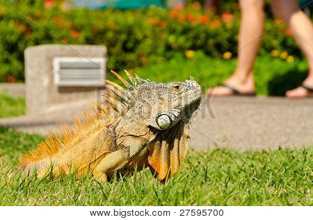 iguana on green grass lawn close to people