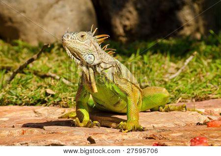 iguana eating fruits