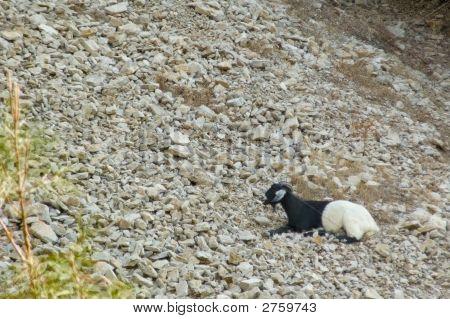 Mountain Resting Goat