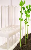 picture of ube  - Young pea shoots on a white background with tubes - JPG